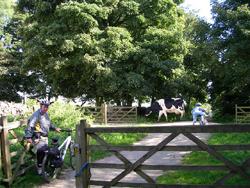 Kuh in Friden